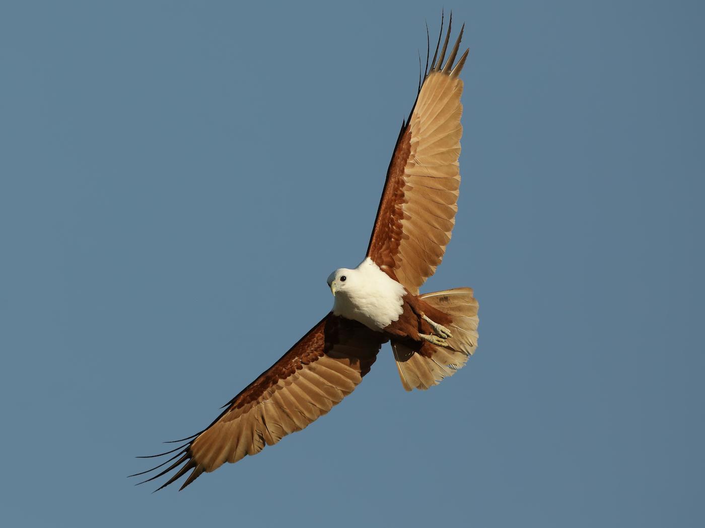 Brahminy Kite (Image ID 36384)