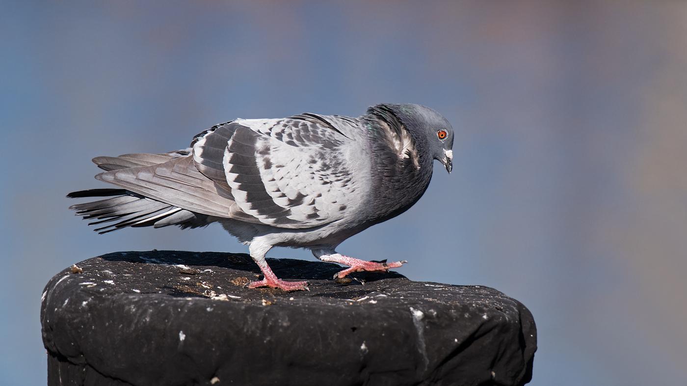 Rock Dove (Image ID 36264)