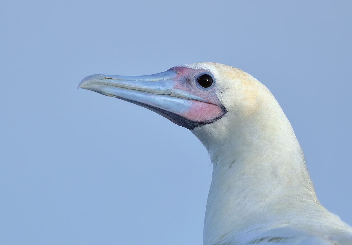 Red-footed Booby (Image ID 36395)