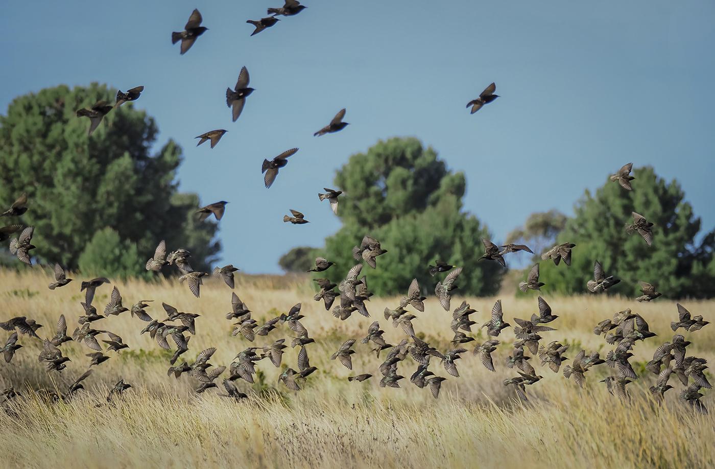 Common Starling (Image ID 36260)