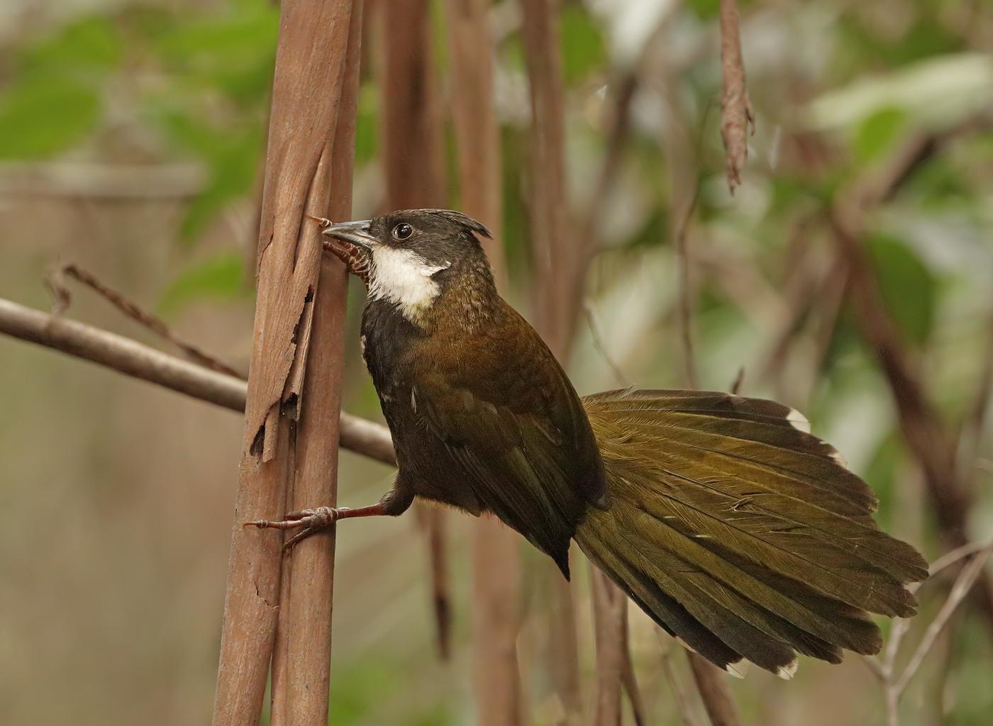 Eastern Whipbird (Image ID 36310)