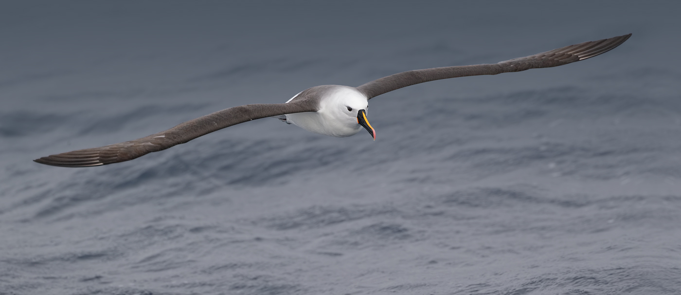 Indian Yellow-nosed Albatross (Image ID 36192)