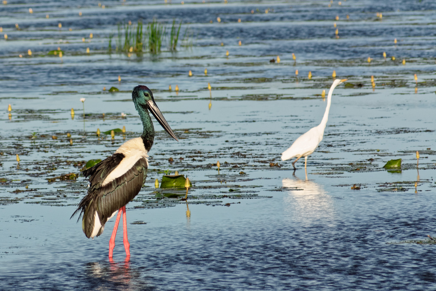 Black-necked Stork (Image ID 36427)