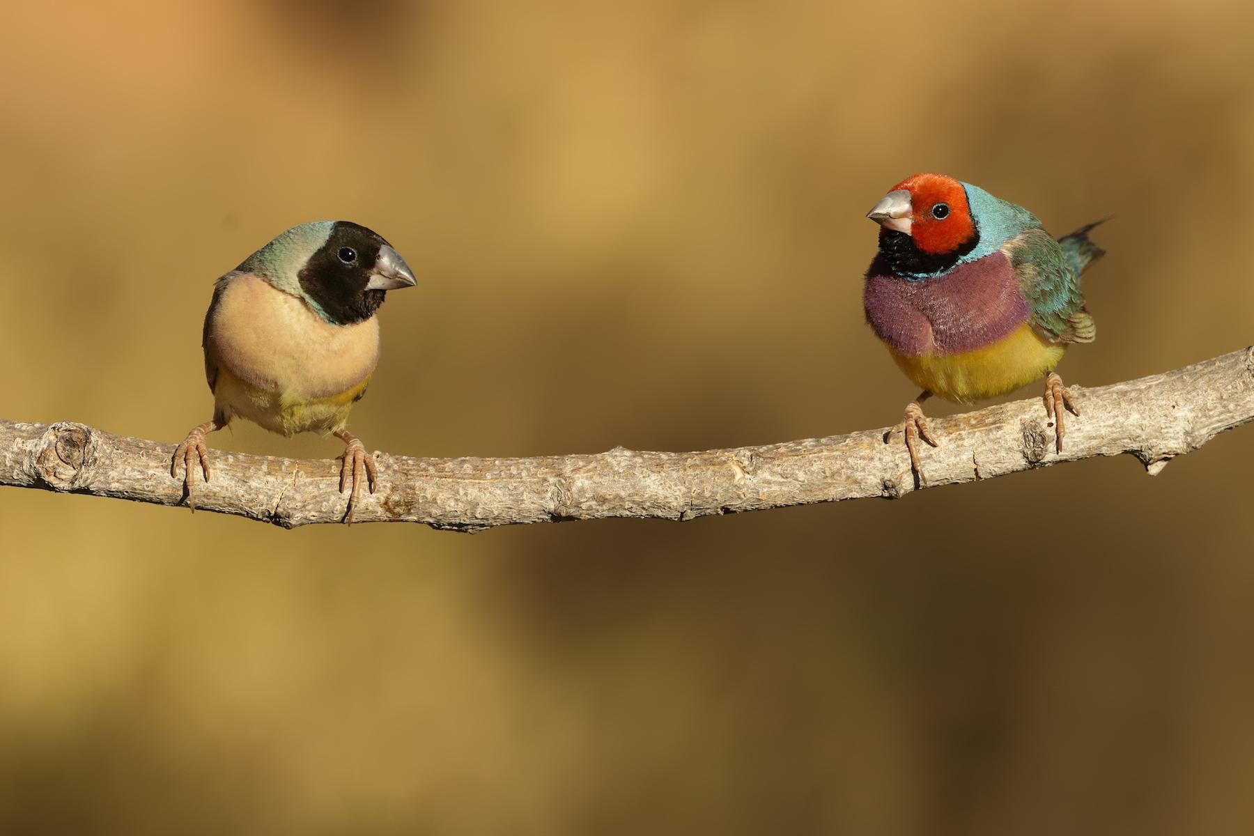 Gouldian Finch (Image ID 36577)