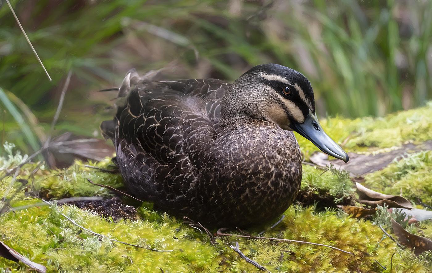 Pacific Black Duck (Image ID 36670)