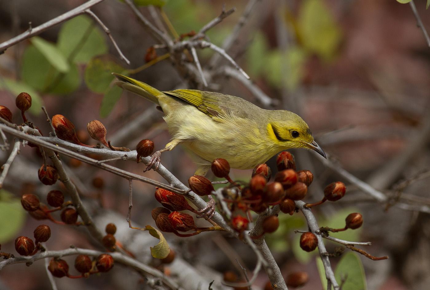 Yellow-tinted Honeyeater (Image ID 36479)