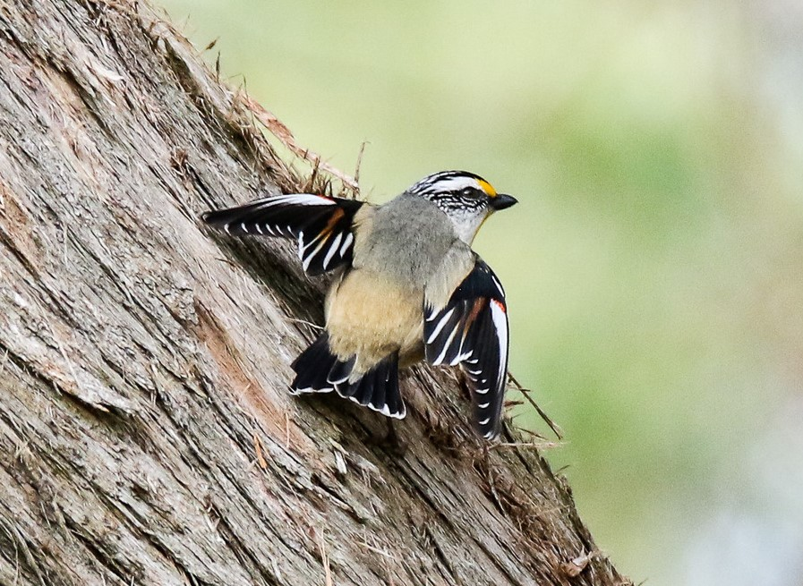 Striated Pardalote (Image ID 36623)