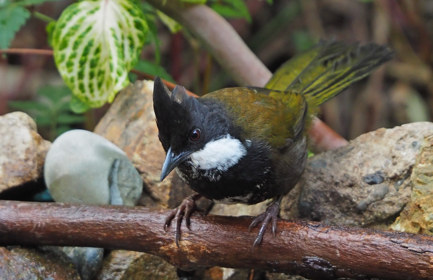 Eastern Whipbird (Image ID 36572)