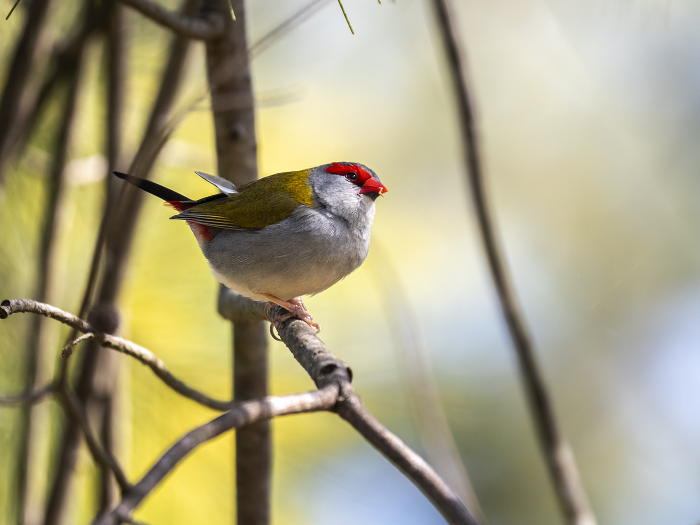 Red-browed Finch (Image ID 36456)