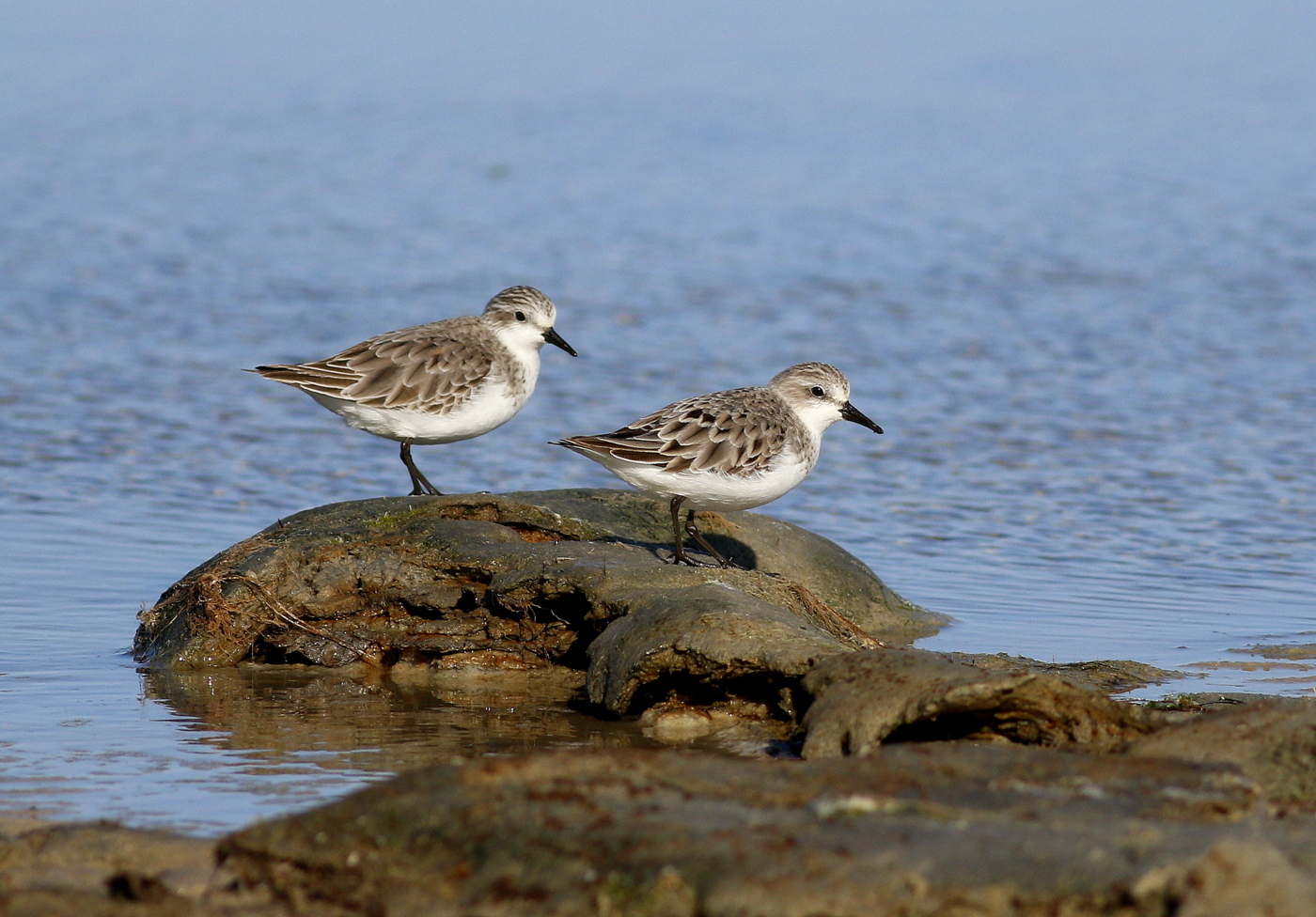 Red-necked Stint (Image ID 36557)
