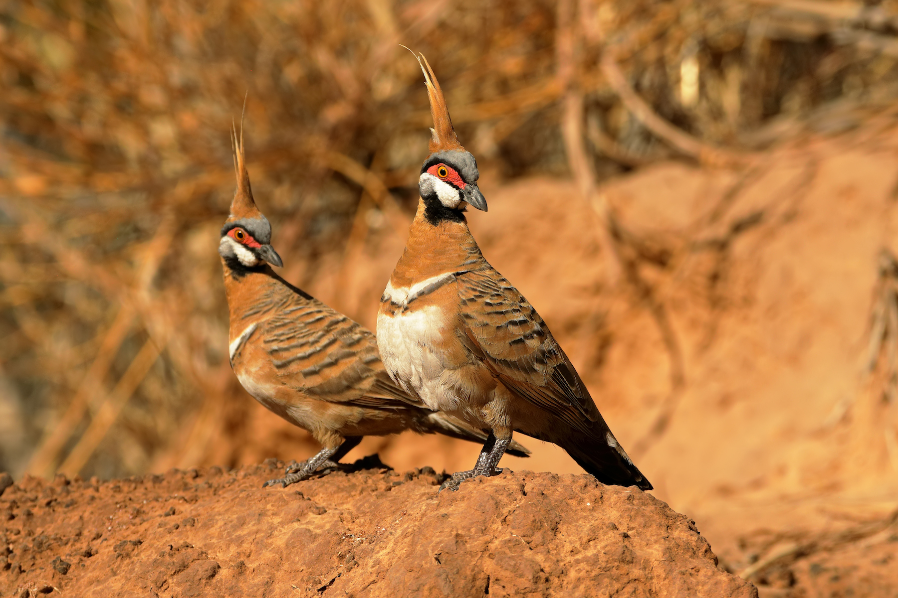 Spinifex Pigeon (Image ID 36576)