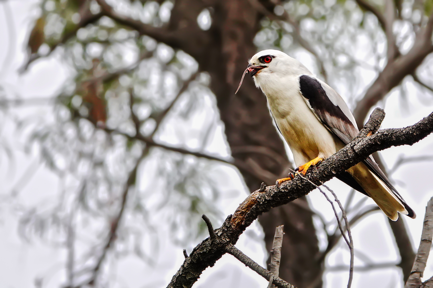 Black-shouldered Kite (Image ID 36447)