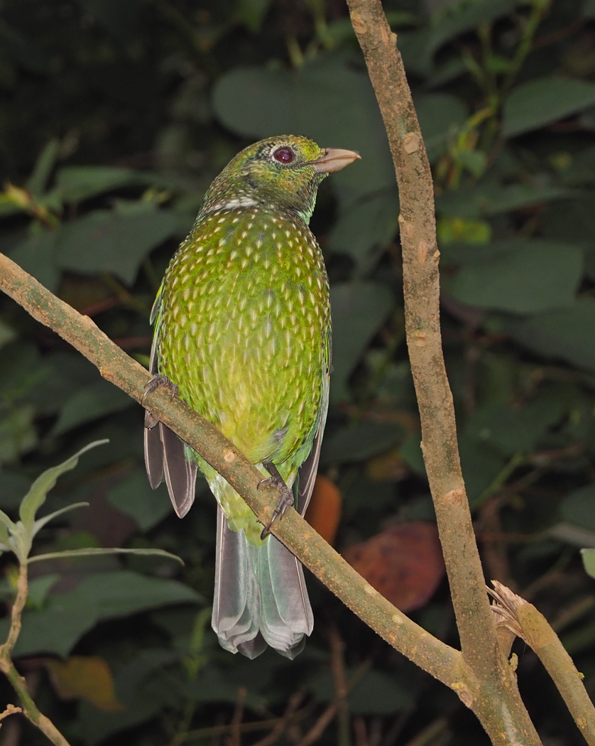 Green Catbird (Image ID 36570)