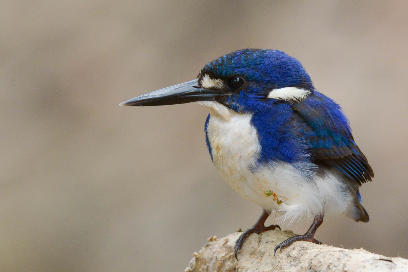 Little Kingfisher (Image ID 36463)