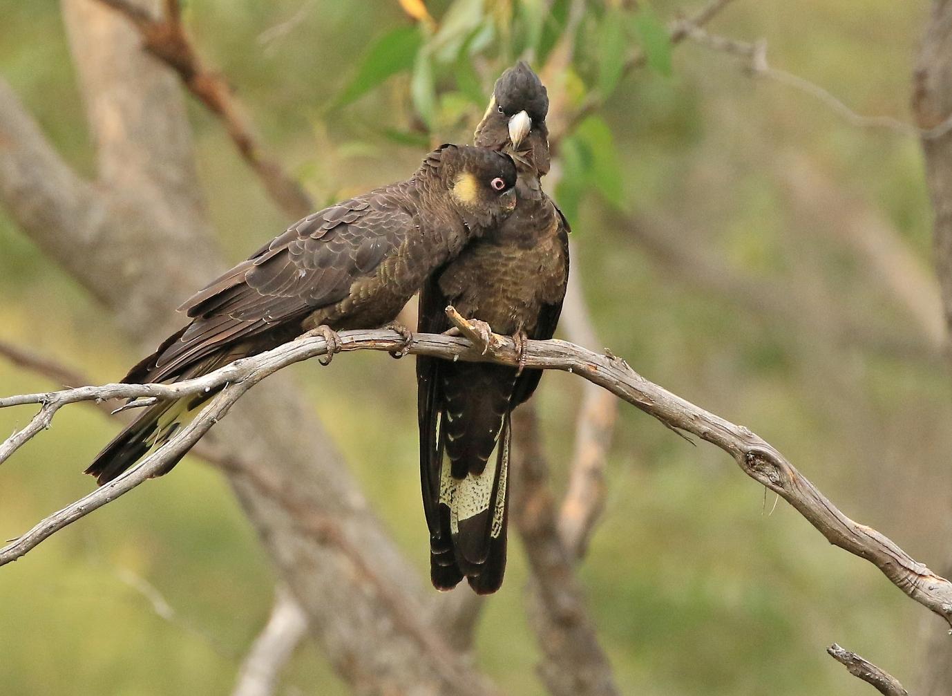 Yellow-tailed Black-Cockatoo (Image ID 36608)