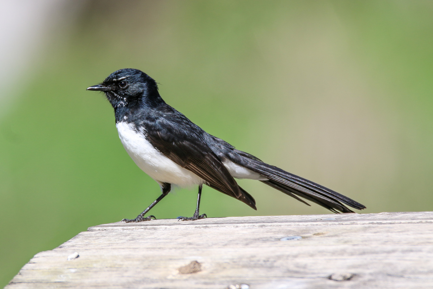 Willie Wagtail (Image ID 36622)