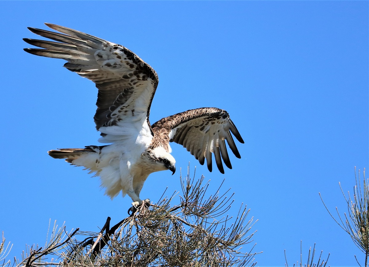 Osprey (Image ID 36533)