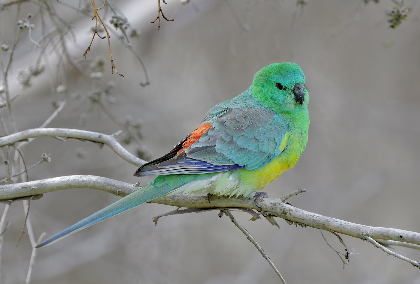 Red-rumped Parrot (Image ID 36443)