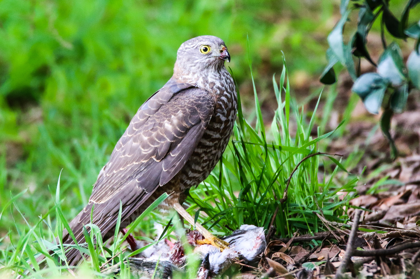 Collared Sparrowhawk (Image ID 36621)