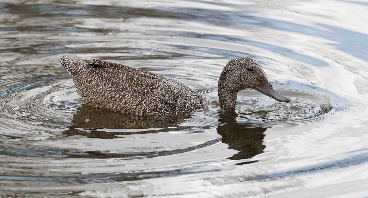 Freckled Duck (Image ID 36485)