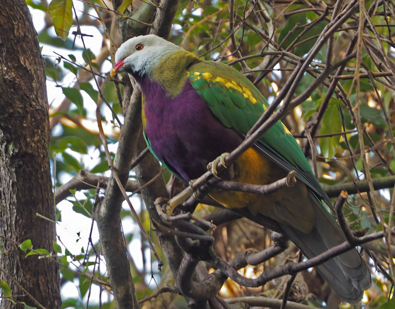 Wompoo Fruit-Dove (Image ID 36438)