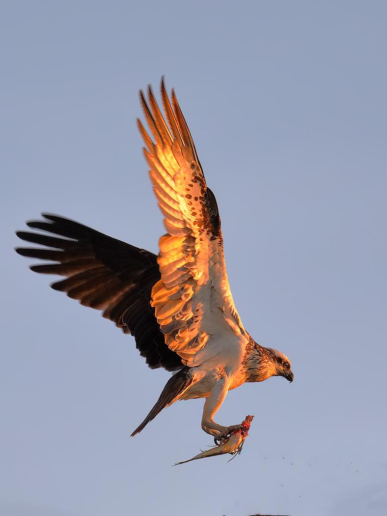 Osprey (Image ID 36472)