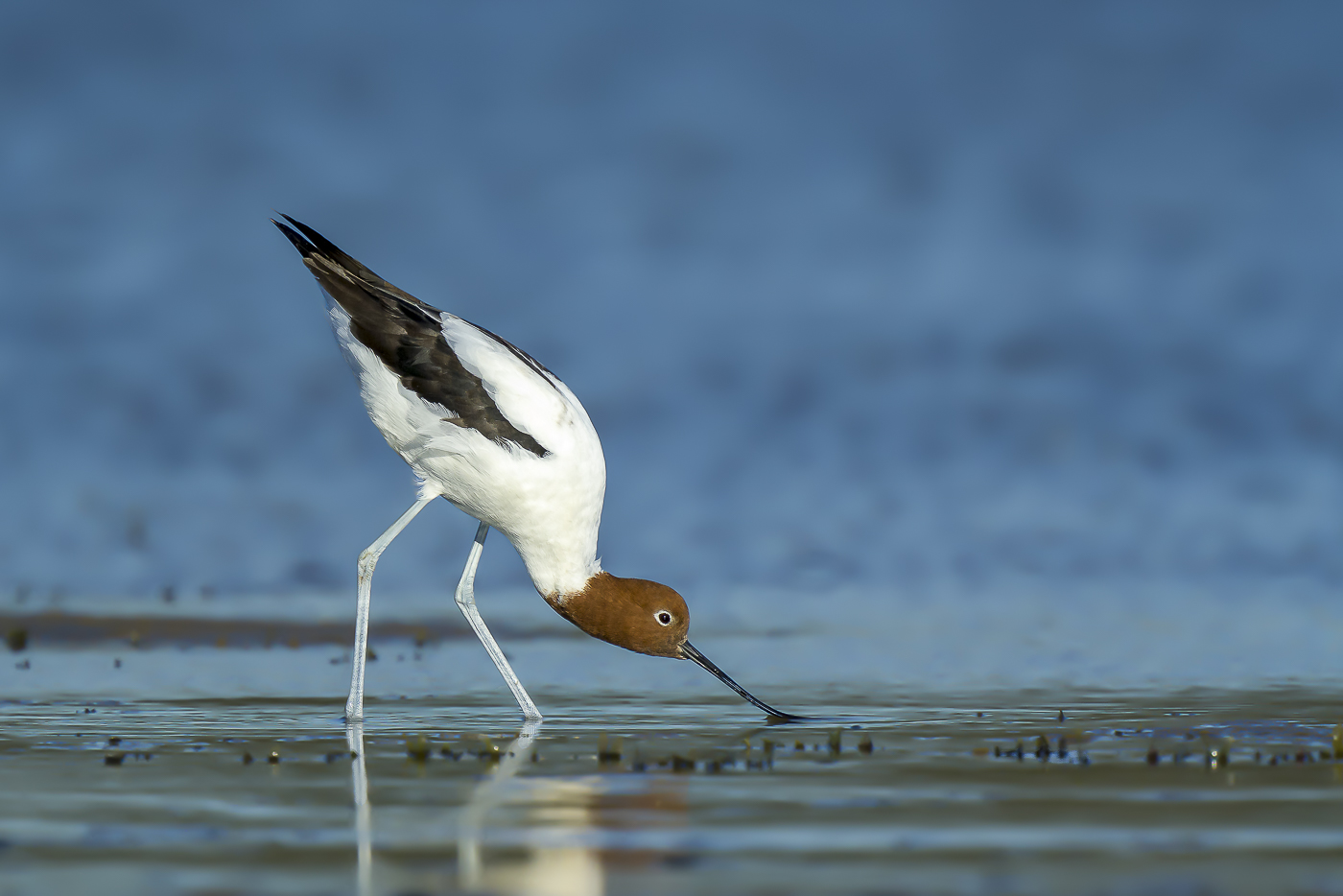 Red-necked Avocet (Image ID 36503)