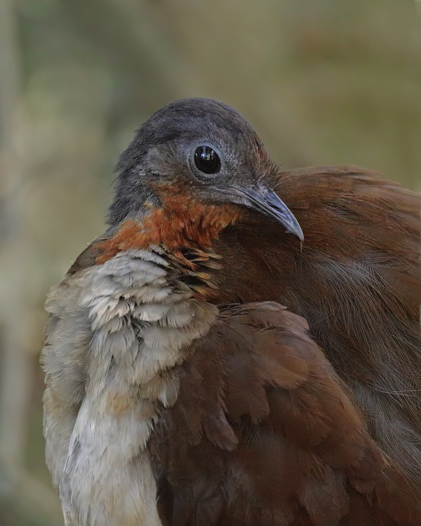 Albert's Lyrebird (Image ID 36504)