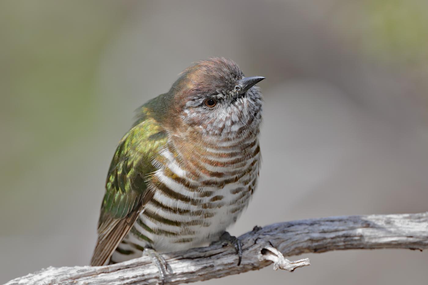 Shining Bronze-Cuckoo (Image ID 36512)