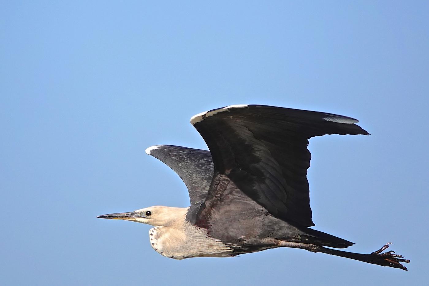 White-necked Heron (Image ID 36446)