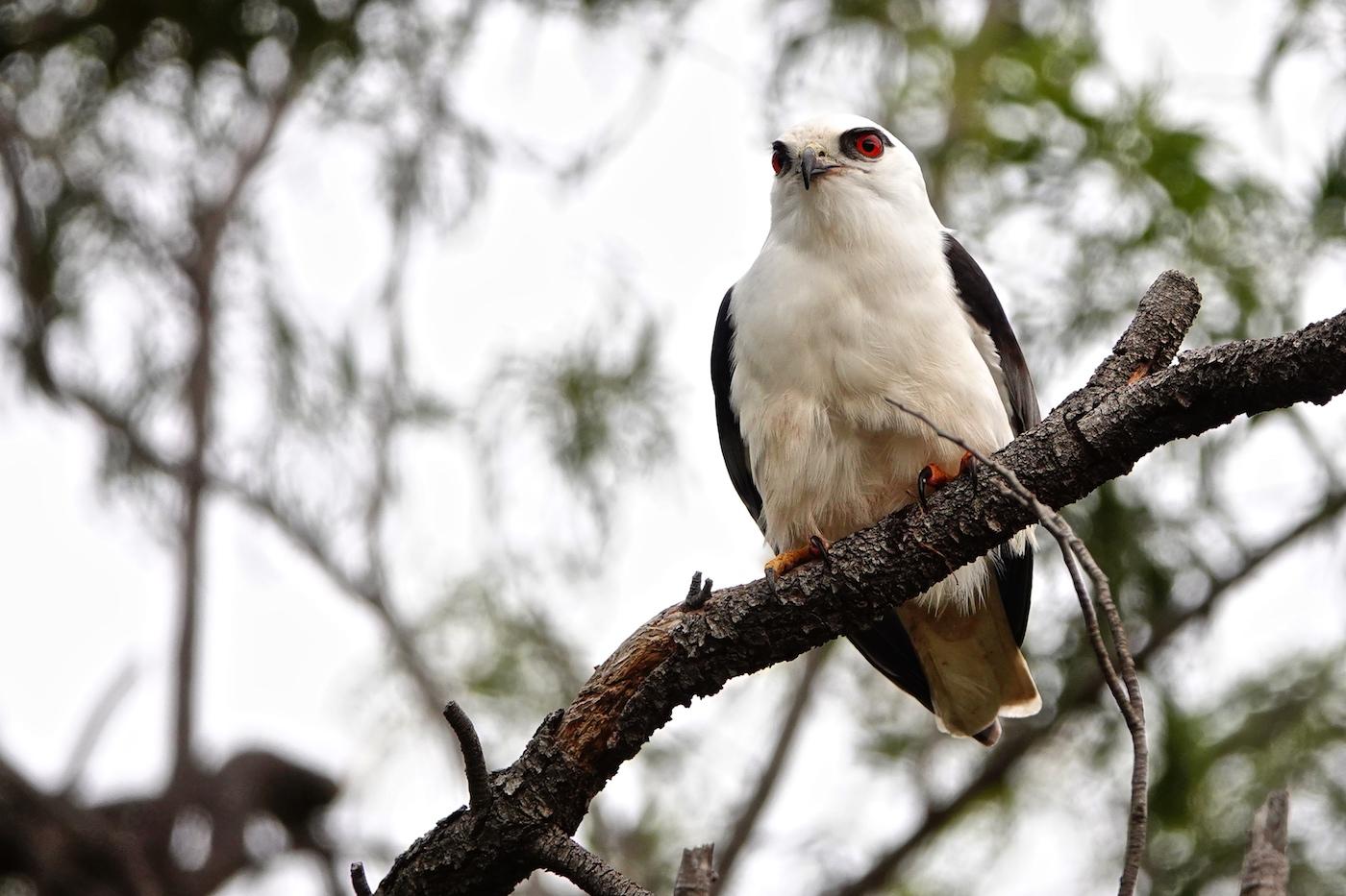 Black-shouldered Kite (Image ID 36501)