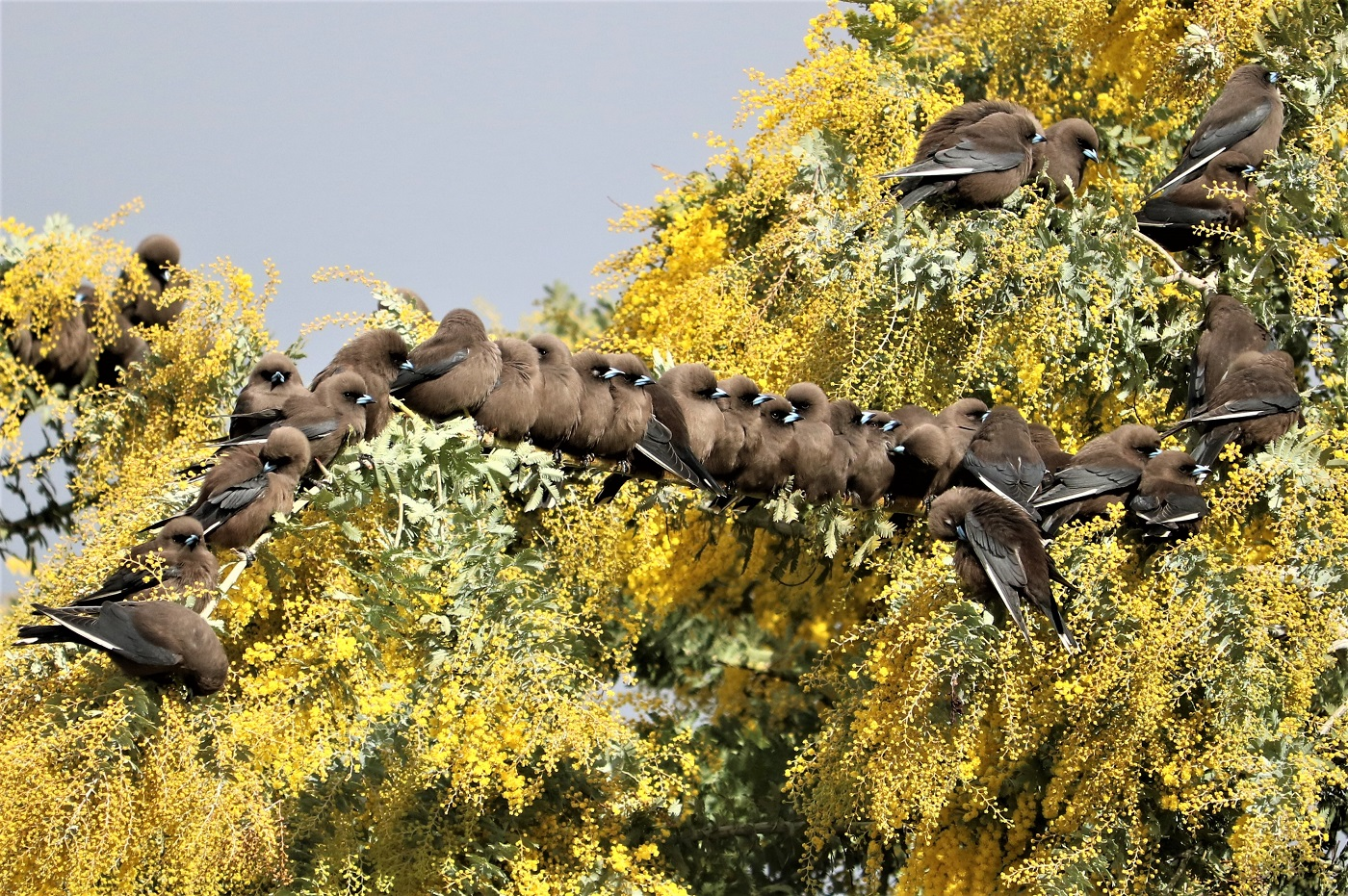 Dusky Woodswallow (Image ID 36547)