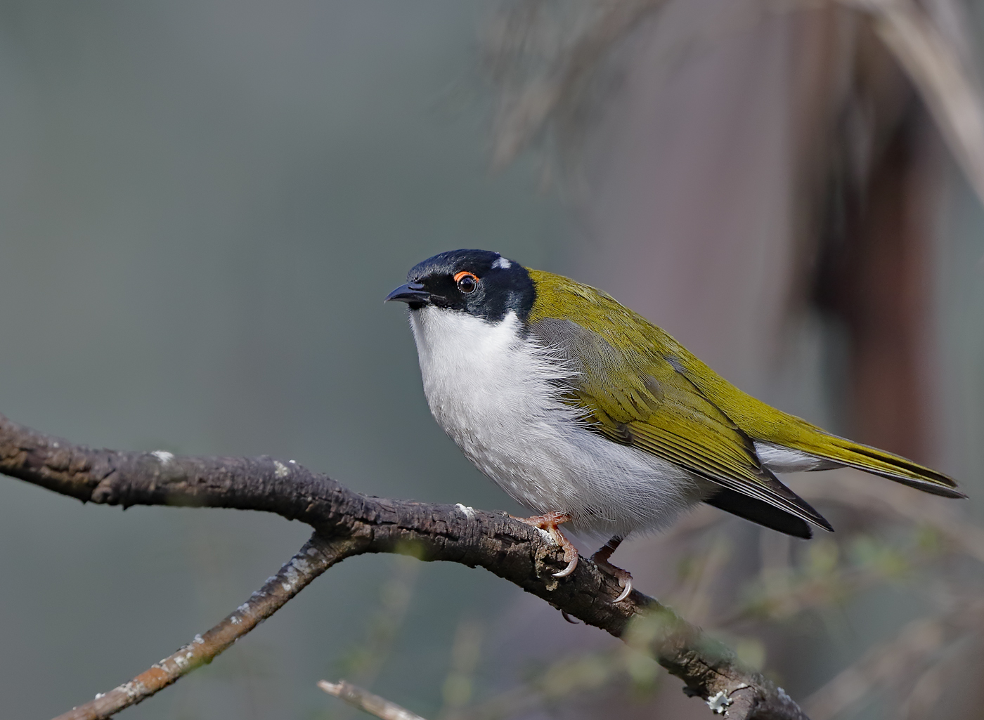 White-naped Honeyeater complex (Image ID 36444)