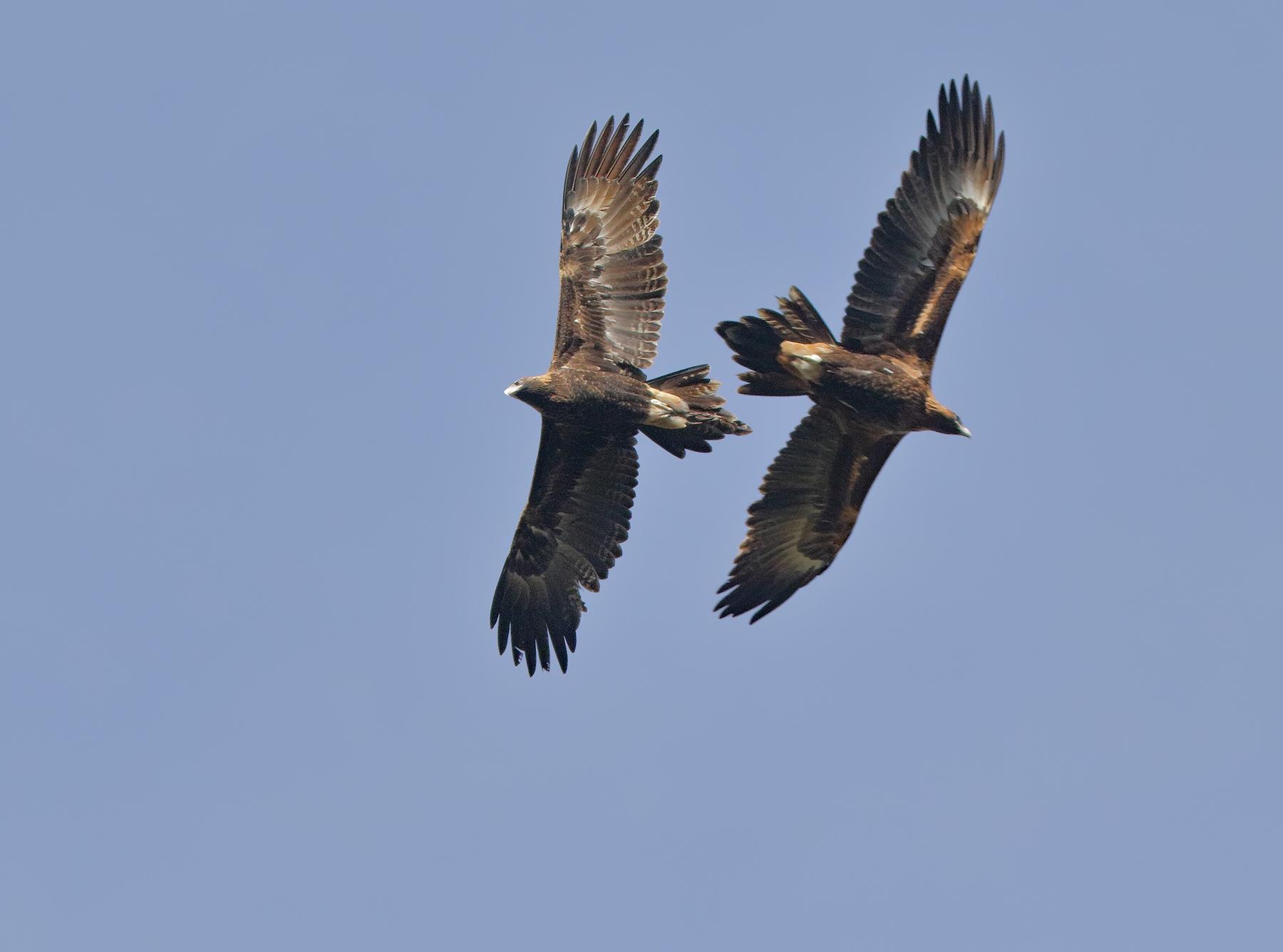 Wedge-tailed Eagle (Image ID 36659)