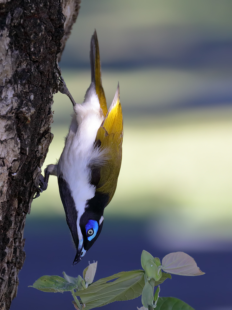 Blue-faced Honeyeater (Image ID 36471)