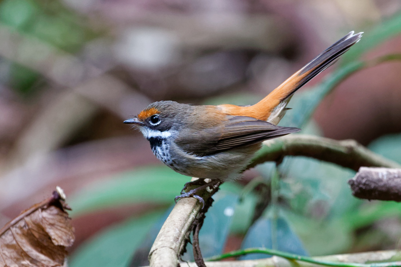 Rufous Fantail (Image ID 36541)