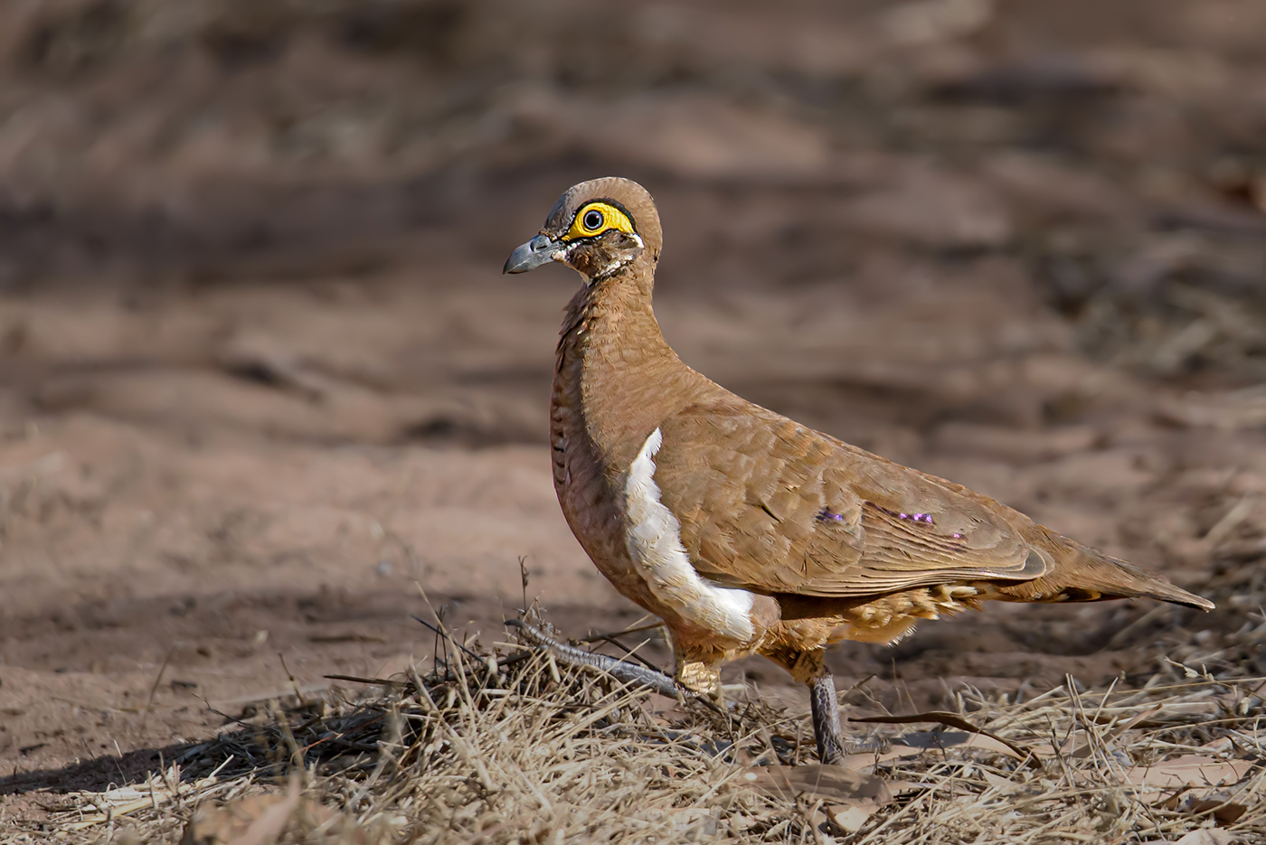 Partridge Pigeon (Image ID 36546)