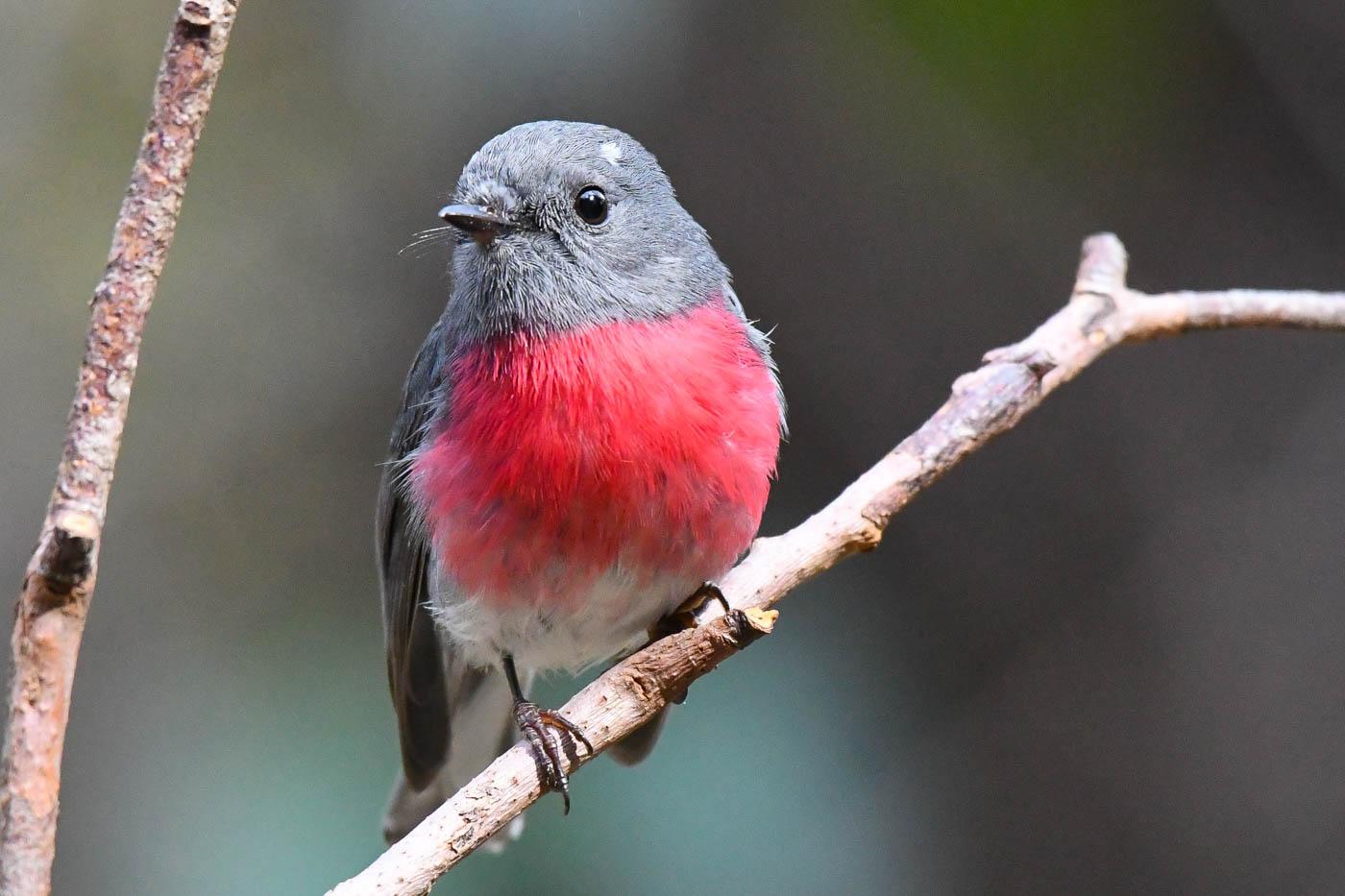 Rose Robin (Image ID 36495)