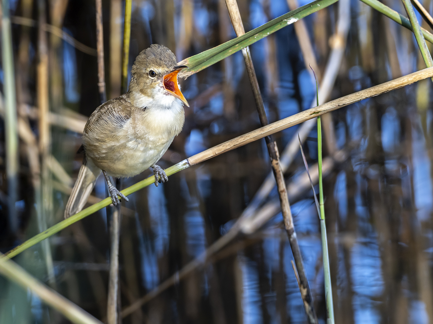 Australian Reed-Warbler (Image ID 36511)