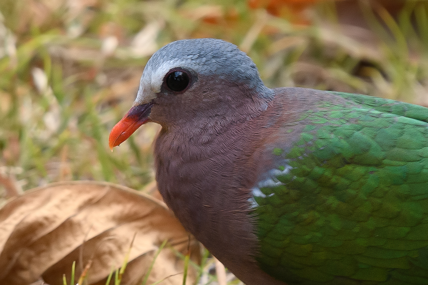 Grey-capped Emerald-Dove (Image ID 36636)