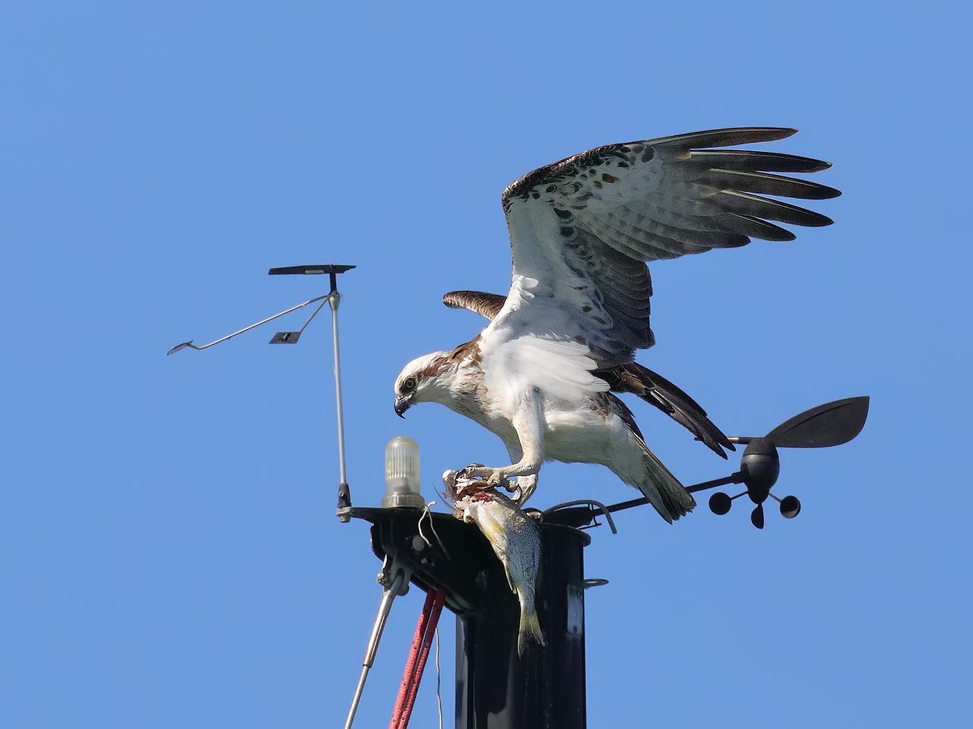 Osprey (Image ID 36474)