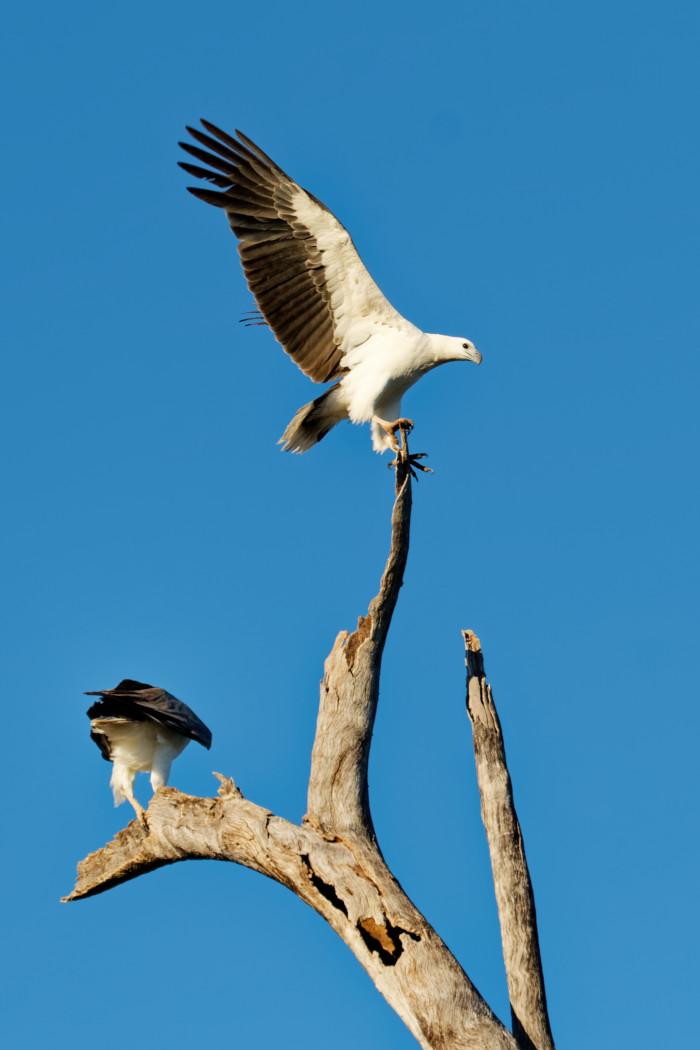 White-bellied Sea-Eagle (Image ID 36540)