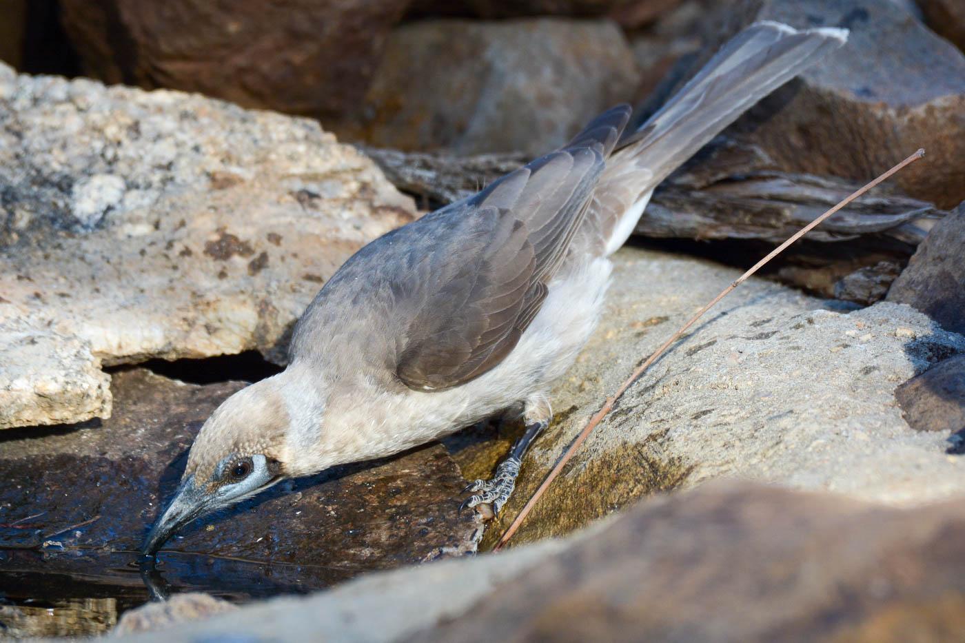 Little Friarbird (Image ID 36459)