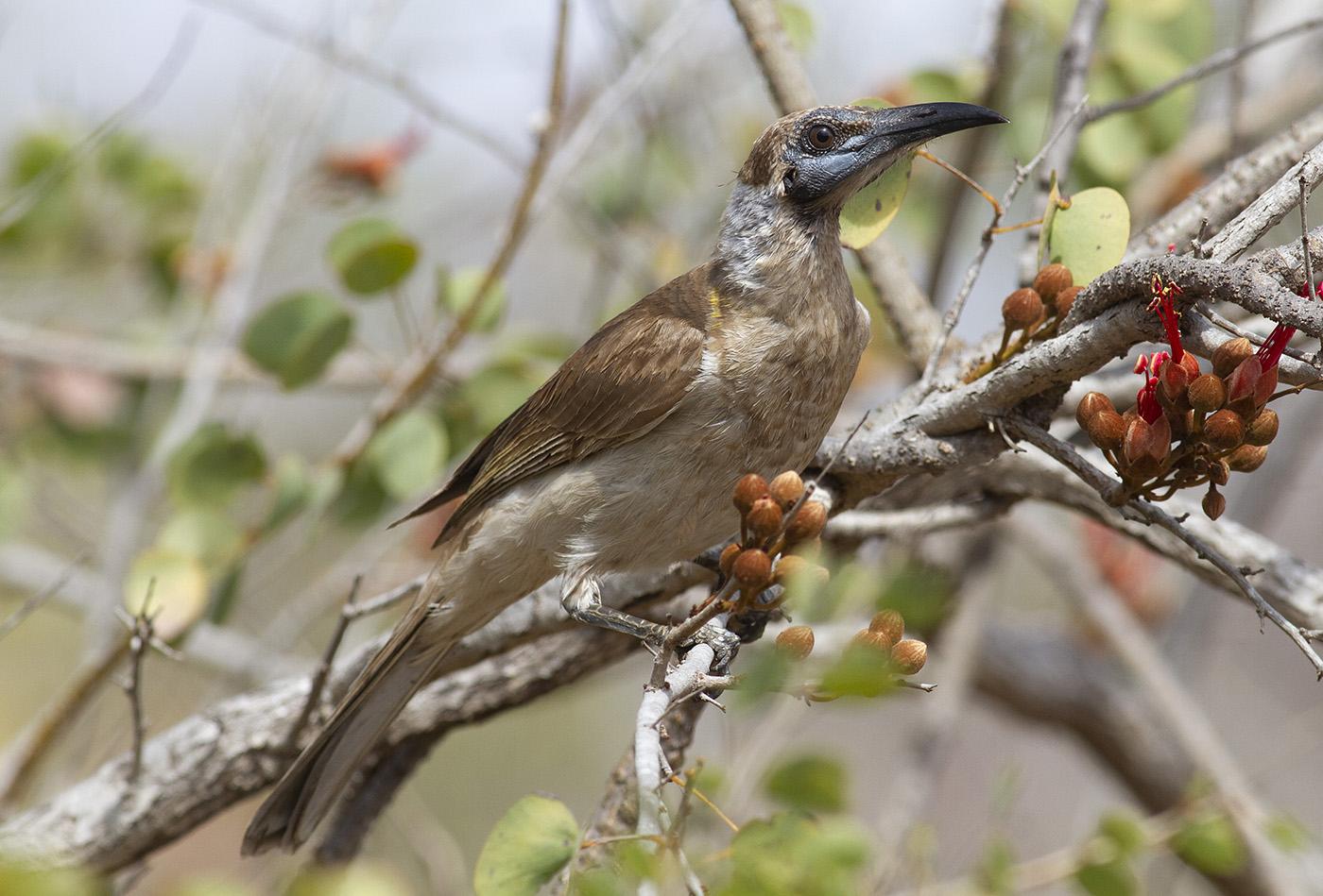 Little Friarbird (Image ID 36477)