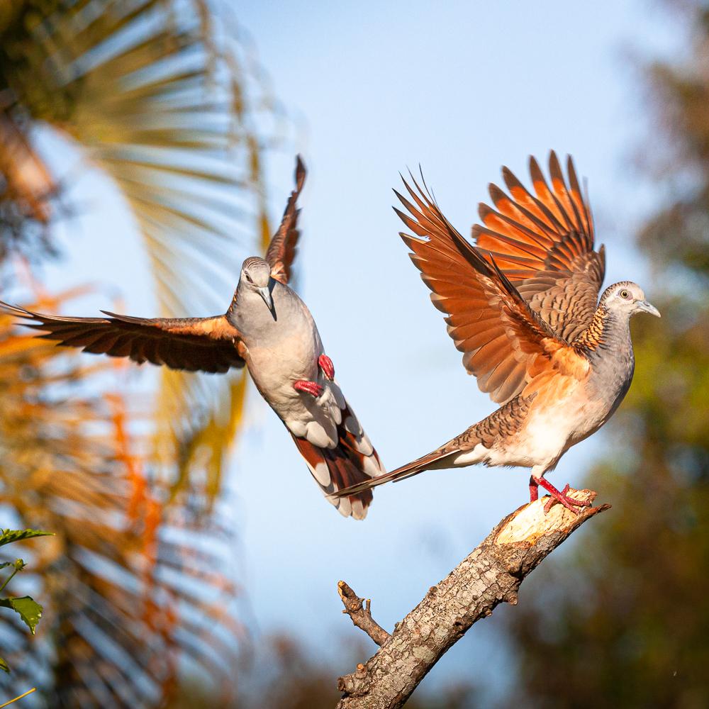 Bar-shouldered Dove (Image ID 36627)