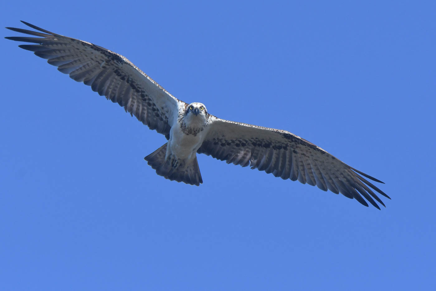 Osprey (Image ID 36462)
