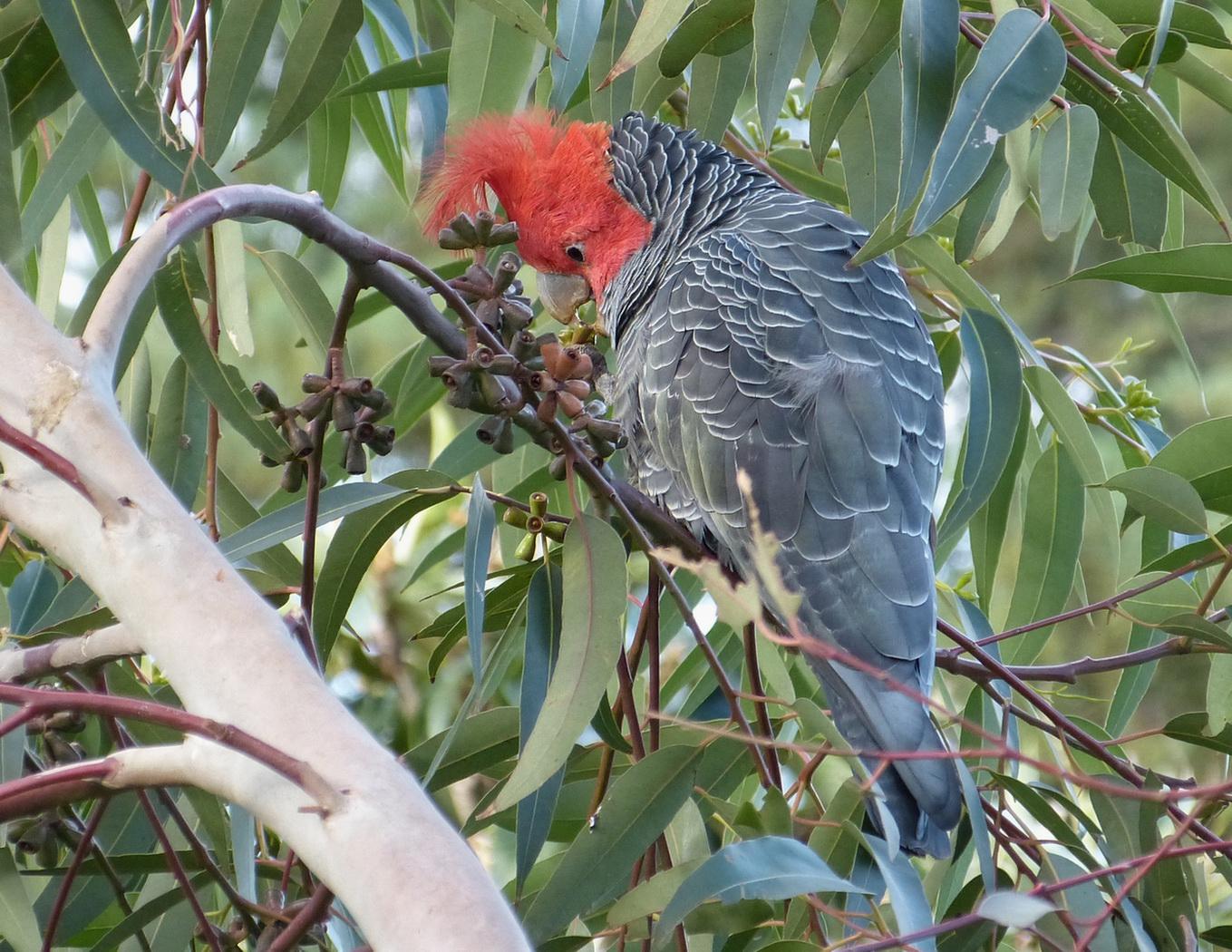 Gang-gang Cockatoo (Image ID 36458)