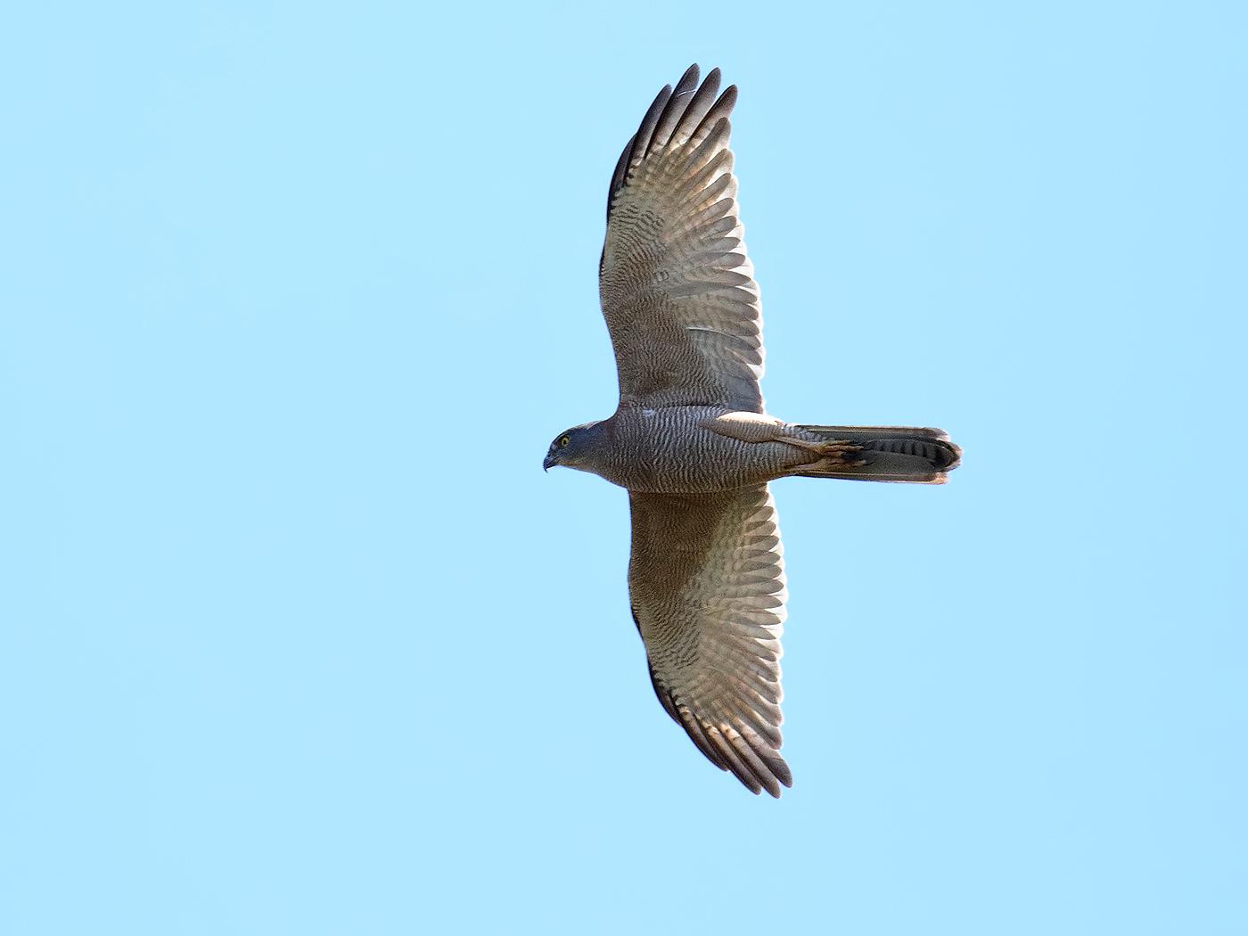 Brown Goshawk (Image ID 36553)