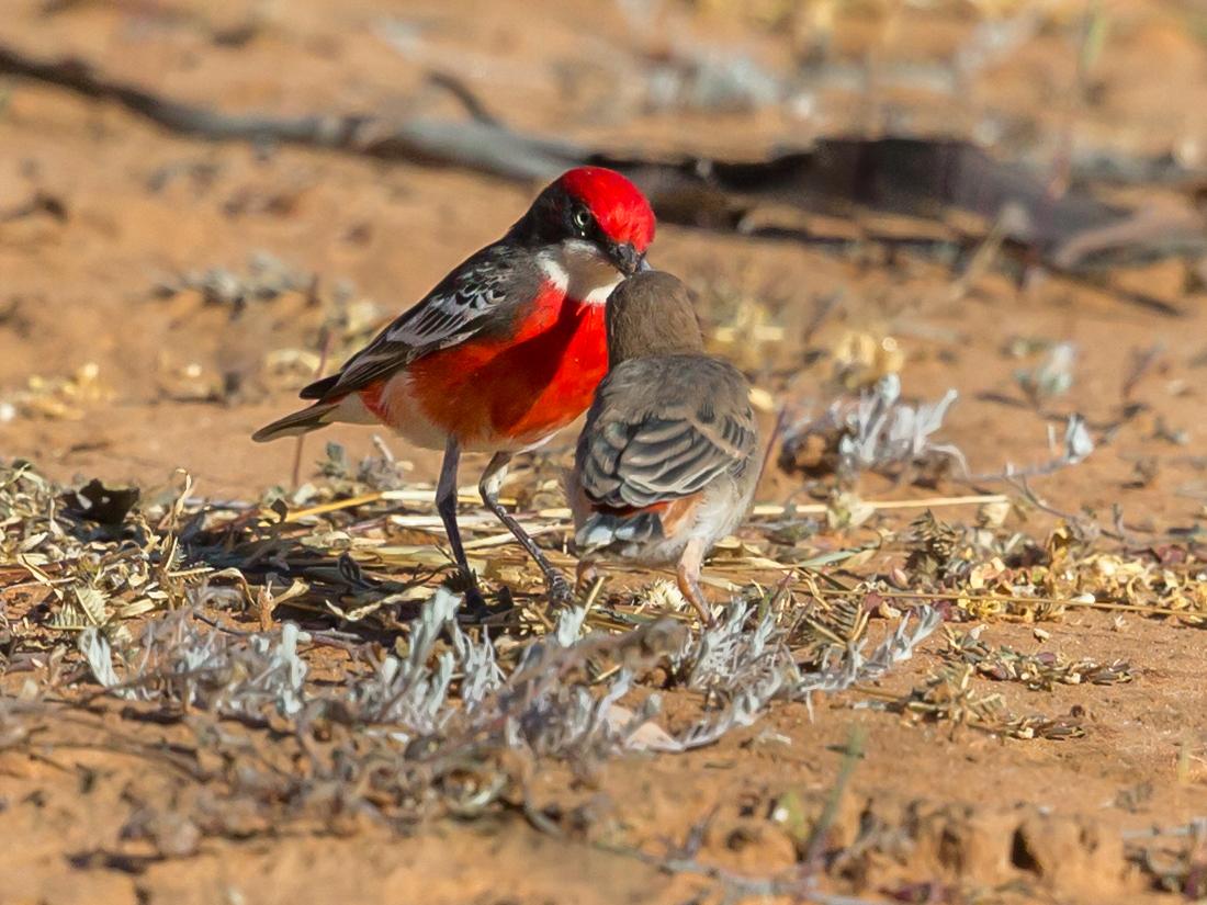 Crimson Chat (Image ID 36506)