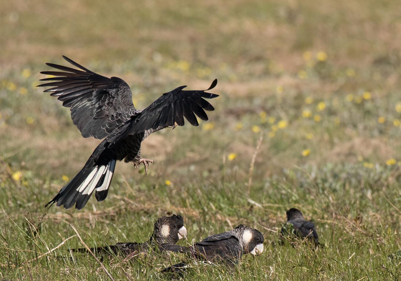 Baudin's Black-Cockatoo (Image ID 36475)